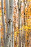 Bosque del abedul en otoño con las hojas amarillas vibrantes Imagen de archivo