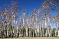 Bosque del abedul en otoño en un día soleado imagen de archivo