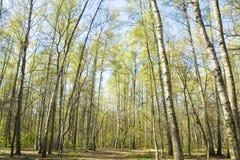 Bosque del abedul en primavera Foto de archivo libre de regalías