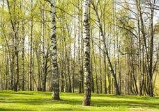 Bosque del abedul en primavera Imagen de archivo libre de regalías