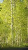 Bosque del abedul en primavera Imagenes de archivo