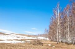 Bosque del abedul en primavera temprana Bosque temprano del resorte Imagenes de archivo