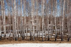 Bosque del abedul en primavera temprana Bosque temprano del resorte Fotografía de archivo