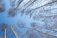 Bosque del abedul en primavera temprana Bosque temprano del resorte Foto de archivo libre de regalías
