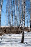 Bosque del abedul en primavera temprana Bosque temprano del resorte Imagen de archivo libre de regalías