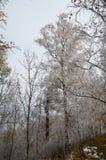 Bosque del abedul en Siberia Fotos de archivo libres de regalías