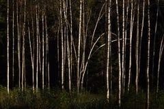 Bosque del abedul en sol del otoño Fotos de archivo