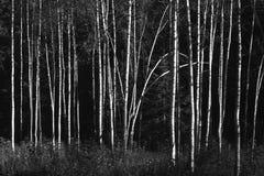 Bosque del abedul en sol del otoño en blanco y negro Fotos de archivo