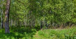 Bosque del abedul en un día soleado Fotos de archivo