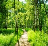Bosque del abedul en un día soleado Bosque verde en verano Foto de archivo libre de regalías