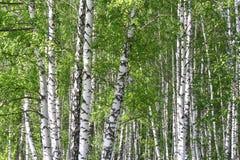 Bosque del abedul en un verano Foto de archivo libre de regalías