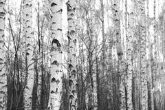 Bosque del abedul, foto negro-blanca Fotos de archivo libres de regalías