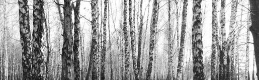 Bosque del abedul, foto negro-blanca, panorama hermoso Imágenes de archivo libres de regalías