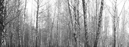 Bosque del abedul, foto negro-blanca, panorama hermoso Fotografía de archivo