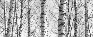 Bosque del abedul, foto negro-blanca, panorama hermoso Fotos de archivo libres de regalías
