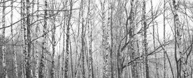 Bosque del abedul, foto negro-blanca, panorama hermoso Imagenes de archivo