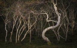 Bosque del abedul impedido en la isla de Skye Imágenes de archivo libres de regalías