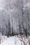 Bosque del abedul del invierno Nevado Imagen de archivo