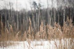 Bosque del abedul del lanscape del invierno Fotografía de archivo libre de regalías