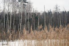 Bosque del abedul del lanscape del invierno Fotos de archivo