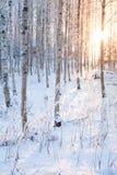 Bosque del abedul Nevado y luz del sol Imagenes de archivo