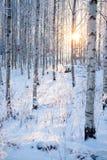 Bosque del abedul Nevado y luz del sol Foto de archivo
