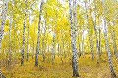 Bosque del abedul del otoño Fotos de archivo