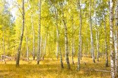 Bosque del abedul del otoño Foto de archivo