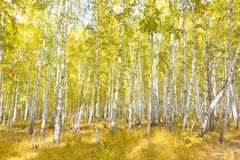 Bosque del abedul del otoño Imagenes de archivo