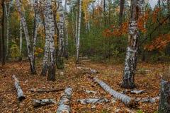 Bosque del abedul del otoño alrededor de muchas hojas amarillas Imagenes de archivo