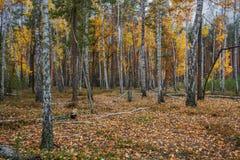 Bosque del abedul del otoño alrededor de muchas hojas amarillas Imagen de archivo libre de regalías