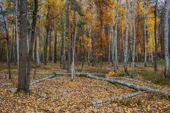 Bosque del abedul del otoño alrededor de muchas hojas amarillas Imagen de archivo