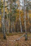 Bosque del abedul del otoño alrededor de muchas hojas amarillas Fotos de archivo