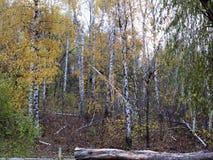 Bosque del abedul del otoño con las hojas del amarillo y los árboles caidos Fotos de archivo