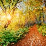 bosque del abedul por tarde soleada mientras que estación del otoño Fotografía de archivo libre de regalías