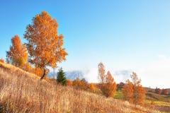 bosque del abedul por tarde soleada mientras que estación del otoño Autumn Landscape ucrania Imágenes de archivo libres de regalías