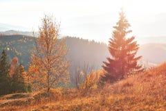 bosque del abedul por tarde soleada mientras que estación del otoño Autumn Landscape ucrania Fotos de archivo libres de regalías