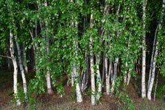 Bosque del abedul que coloca firmemente árboles Imagen de archivo
