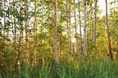 Bosque del abedul del verano en la puesta del sol Imágenes de archivo libres de regalías