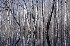 Bosque del abedul y agua de manatial hermosos Fotografía de archivo