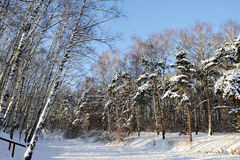Bosque del abedul y del pino en invierno Fotos de archivo