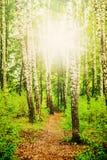 Bosque del abedul y el sol Fotografía de archivo libre de regalías