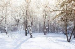 Bosque del abedul y del pino del invierno en los rayos del sol y la nieve que cae Fotografía de archivo libre de regalías