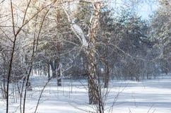 Bosque del abedul y del pino del invierno en los rayos del sol y la nieve que cae Imagen de archivo libre de regalías