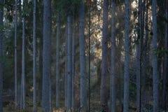 Bosque del abeto fotos de archivo libres de regalías