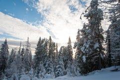 Bosque del abeto del invierno Foto de archivo libre de regalías