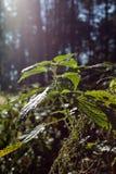 bosque del abeto del otoño de noviembre Foto de archivo libre de regalías