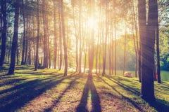 Bosque del alerce con luz del sol y sombras en la salida del sol Imagenes de archivo
