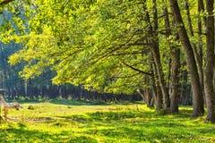 Bosque del aliso en Rumania Fotos de archivo libres de regalías