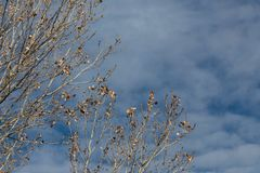 Bosque del Apache New Mexico, almost bare tree branches against a dark blue sky with clouds, copy space royalty free stock image